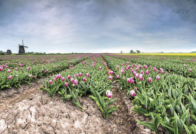 Field of tulips and windmill — Stock Photo