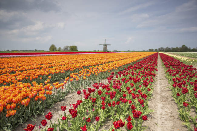 Spring clouds over fields of multicolored tulips — Stock Photo