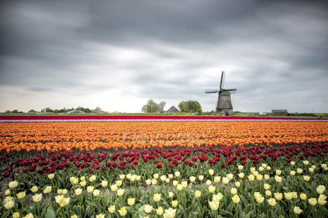 Весенние облака над полями Разноцветные тюльпаны — стоковое фото