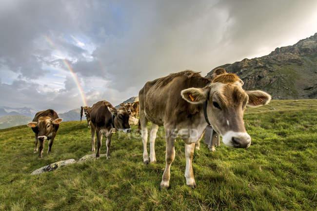 Vacas que pastam em verdes pastos — Fotografia de Stock