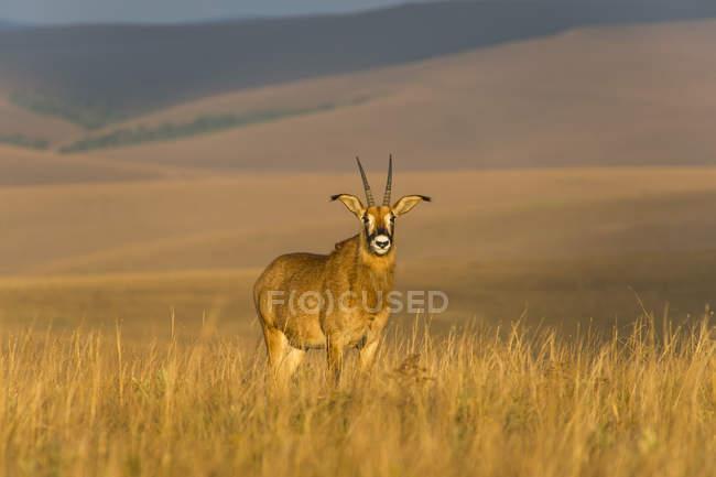 Antílope de Roan salvaje - foto de stock