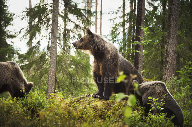 Wild Brown Bears — Stock Photo