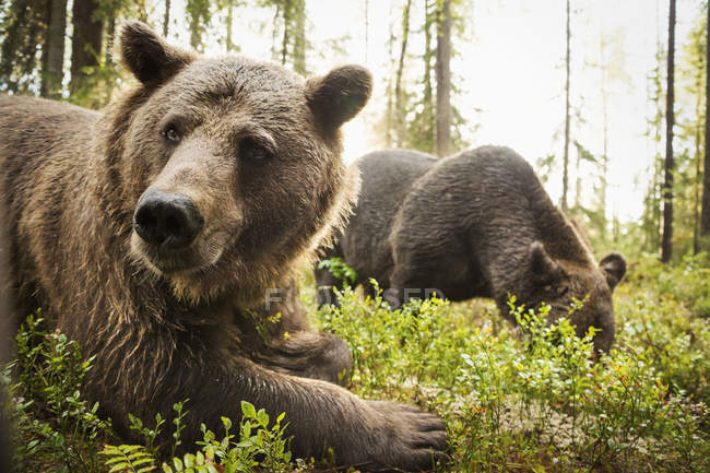 Wild Brown Bears — Stock Photo