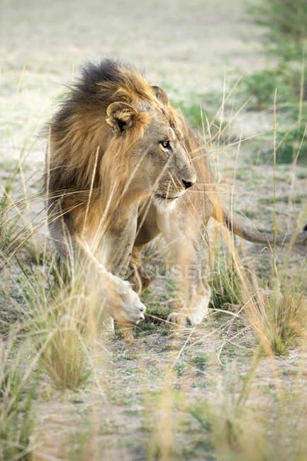 Bello leone africano — Foto stock