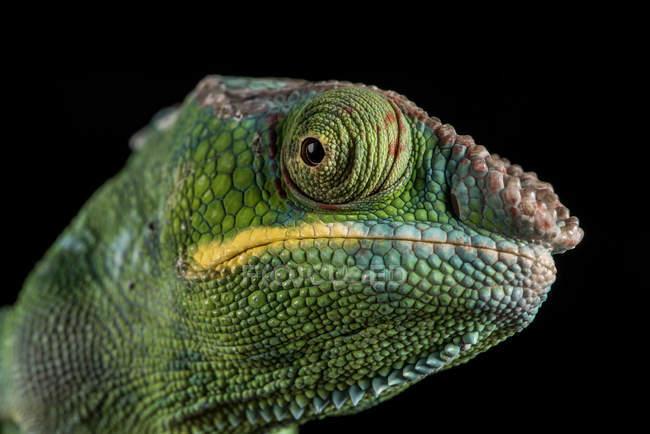Sauvage de caméléon panthère — Photo de stock