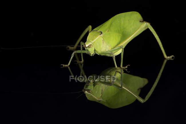 Перегляд Katydid комах — стокове фото