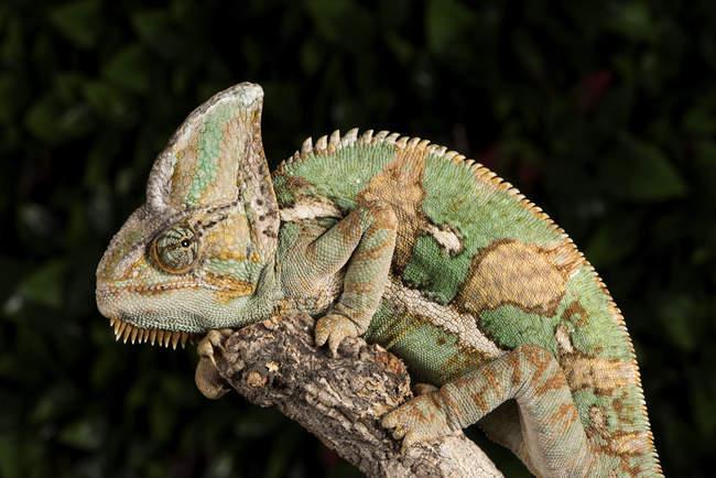 Vista del Yemen Chameleon — Foto stock