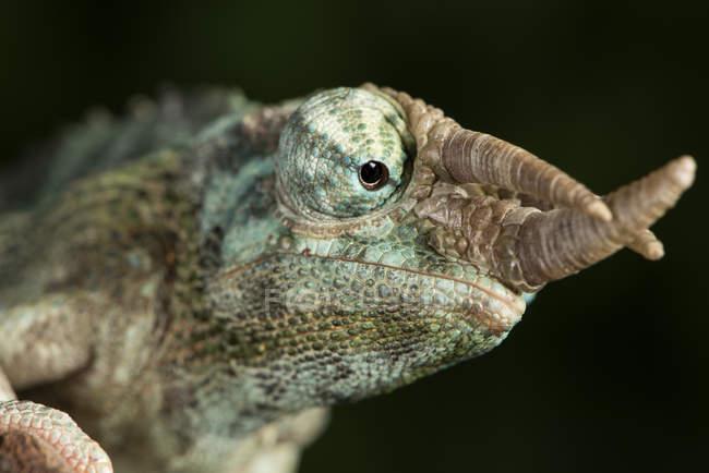 View of Jacksons Chameleon — Stock Photo