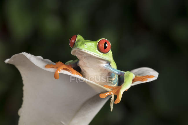 Red eyed tree frog — Photo de stock
