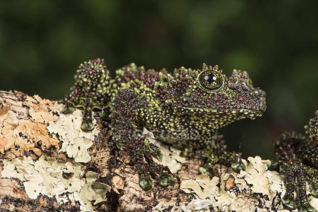 Vietnamese Mossy Frog — Stock Photo