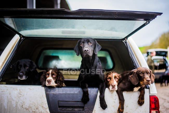 Perdigueiros atrás do carro — Fotografia de Stock