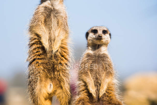 Vue de suricates ou suricates — Photo de stock