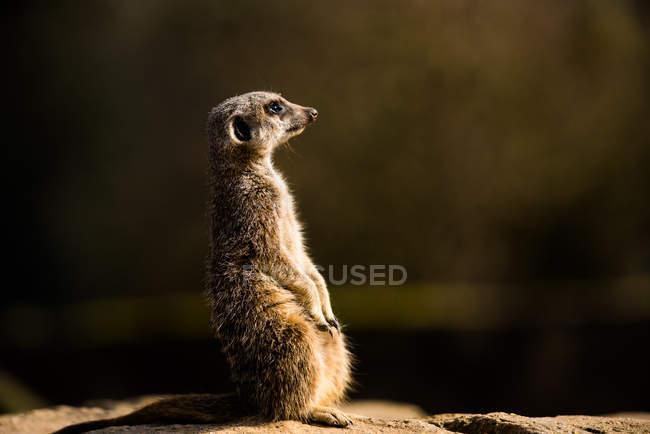 Vue de suricate Suricata — Photo de stock