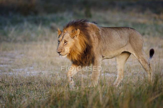 Просмотр самца льва — стоковое фото