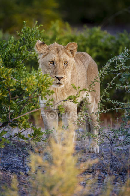 Lion mâle juvénile — Photo de stock
