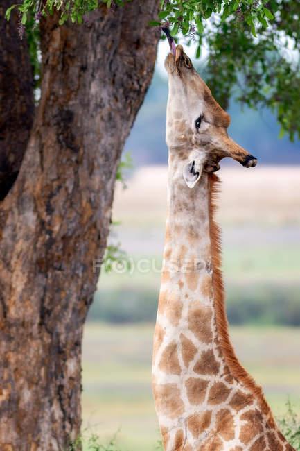 Vista da girafa linda — Fotografia de Stock