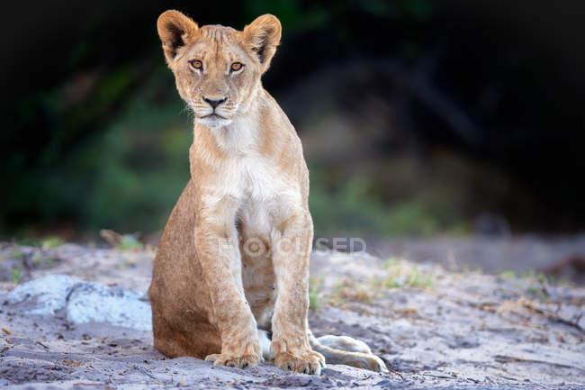 Вид львенка — стоковое фото