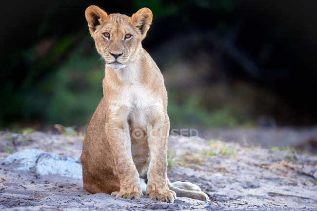 View of Lion cub — Stock Photo