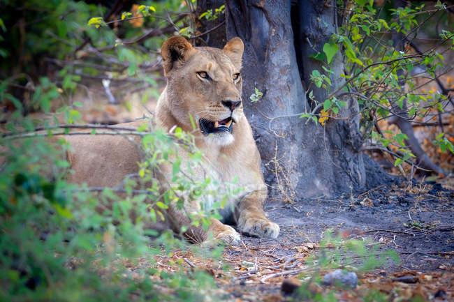 Vista de descanso leão — Fotografia de Stock