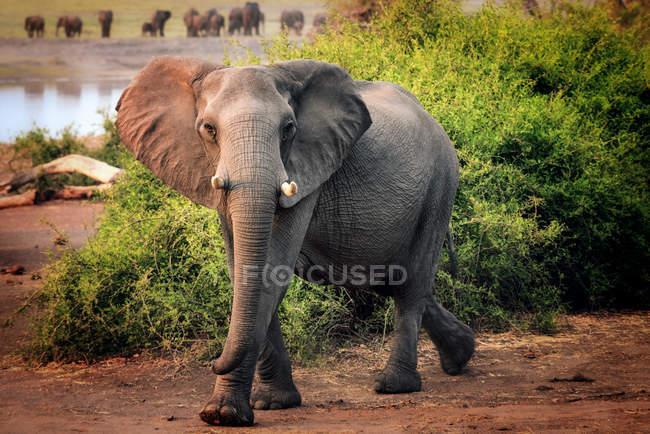 Vista do elefante africano — Fotografia de Stock