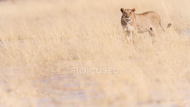 Vista de leão selvagem — Fotografia de Stock