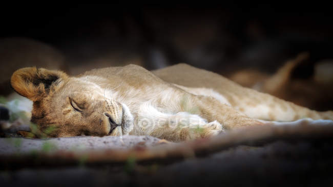 Sleeping lion cub — Stock Photo