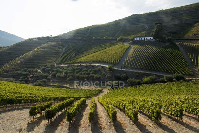 Grape vines ripening in sun at vineyard — Stock Photo