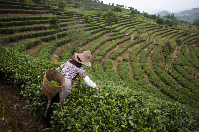 Woman collecting tea leaves — Stock Photo