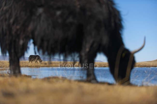 Яков, пасущихся на огромной открытой пастбищных — стоковое фото