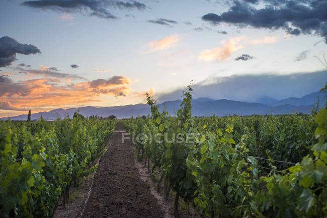 Malbec vineyards at foot of Andes — Stock Photo