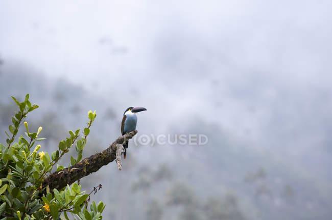 Toucan in Valle de Cocora — Foto stock