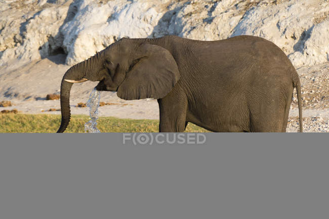 African elephant drinking water — Stock Photo