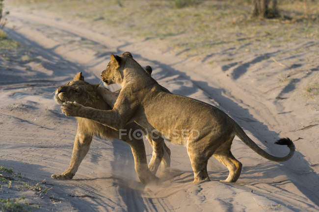 Two lionesses playing — Stock Photo
