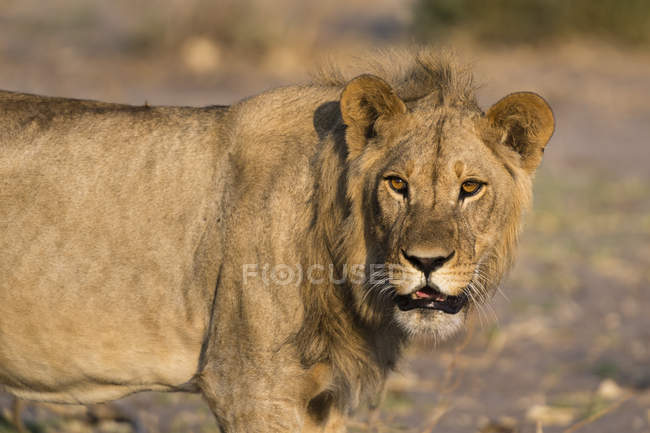 Sauvage grosse lion — Photo de stock