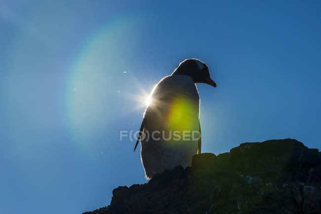 Gentoo penguin Pygoscelis papua in backlight — Stock Photo