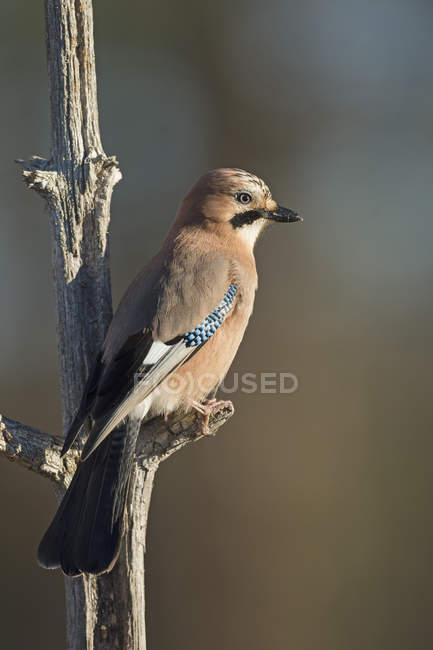 Vista dell'uccello del Jay — Foto stock