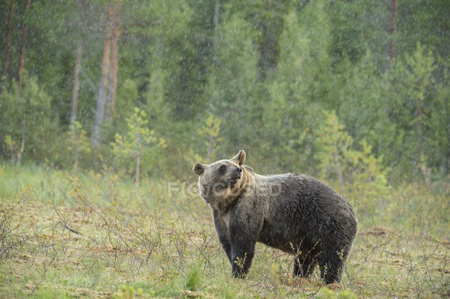 View of Brown bear — Stock Photo