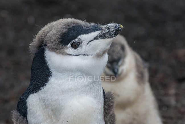 Антарктические пингвины цыплят — стоковое фото