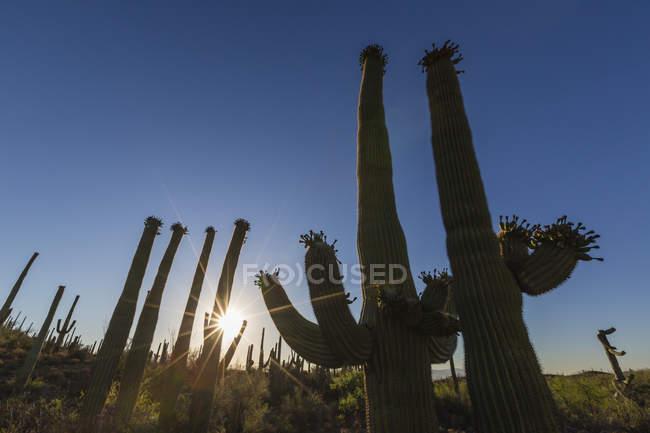 Sunrise on saguaro cactus in bloom — Stock Photo