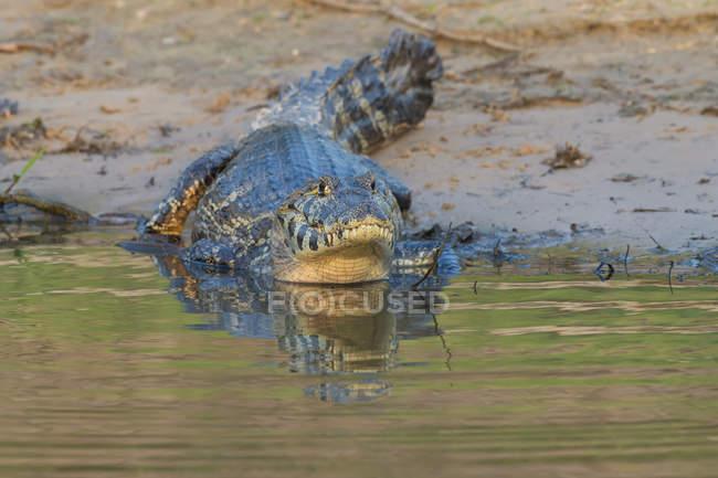 Yacare caiman in water — Stock Photo