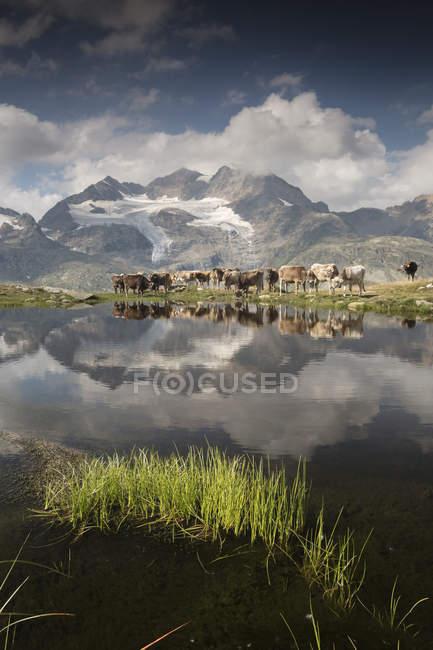Vaches broutant sur verts pâturages — Photo de stock