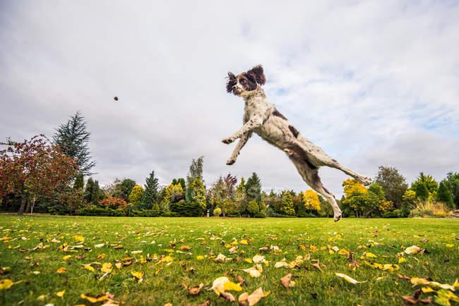 Springer Spaniel springen, um fangen zu behandeln — Stockfoto