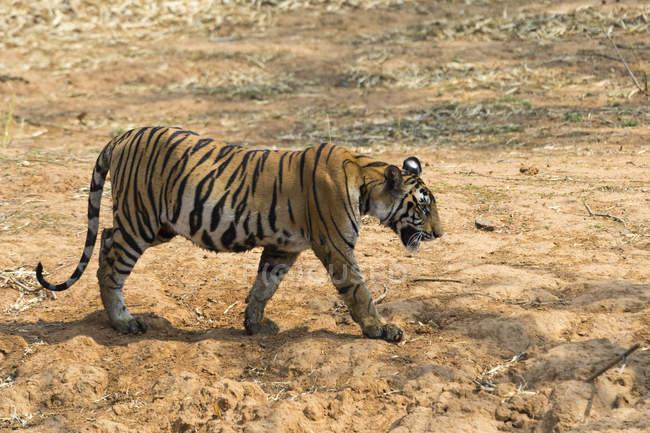 Tigre du Bengale, Panthera tigris tigris — Photo de stock