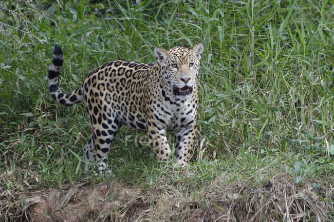 Joven jaguar, Panthera - foto de stock