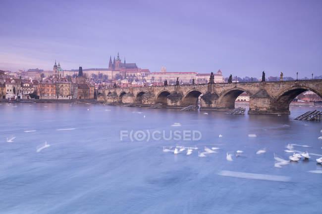 Білий лебеді, на річці Влтава — стокове фото