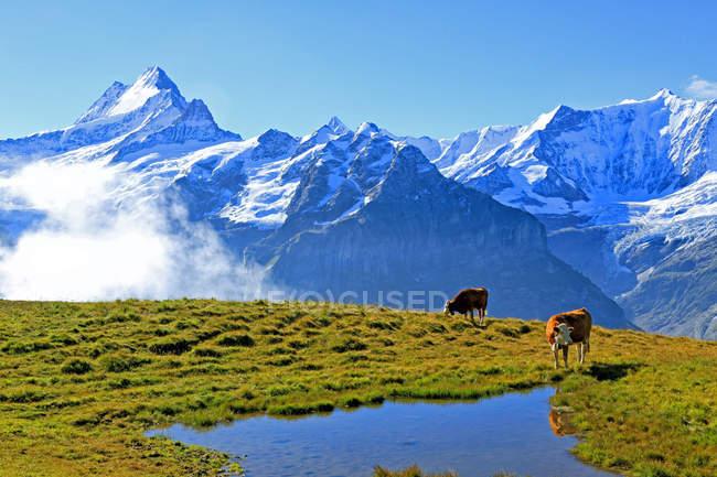 Berner Alpen, Grindelwald, Schweiz — Stockfoto