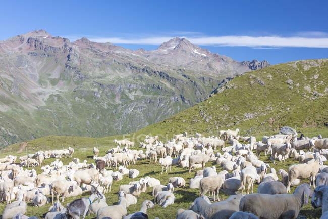 Ovelhas em pastos verdes — Fotografia de Stock