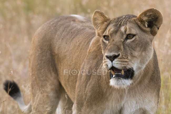 Lioness, Panthera leo — Stock Photo