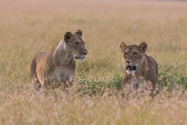 Portrait of two lionesses — Stock Photo