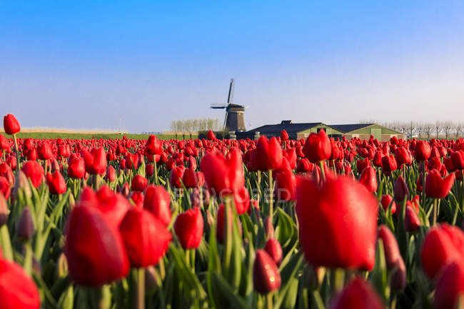 Fields of red tulips — Stock Photo